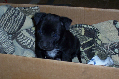 Chi as a Pup
