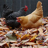 Zoe and Ginger go at the fresh fall leaves, looking for worms.  (Finally I have full size hen photos up.)