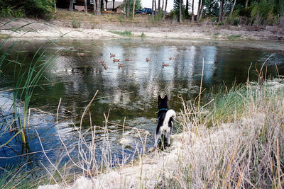 Clea and the ducks