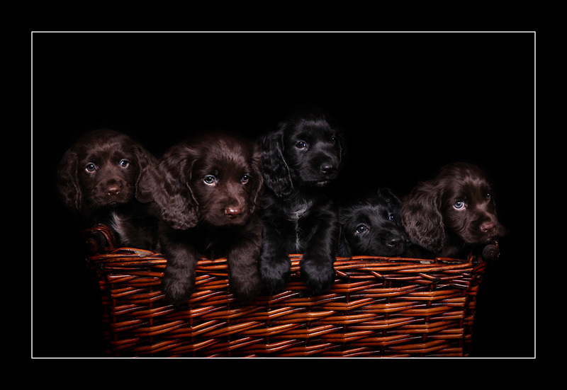 Puppies-1a