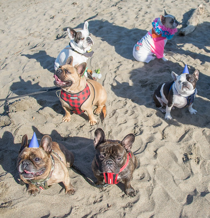 Crissy Fields Frenchie Meetup Jan 2017