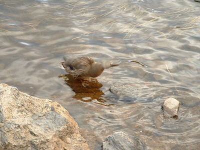 A duck taking a bath at Bear Lake in Rocky Mountain National Park