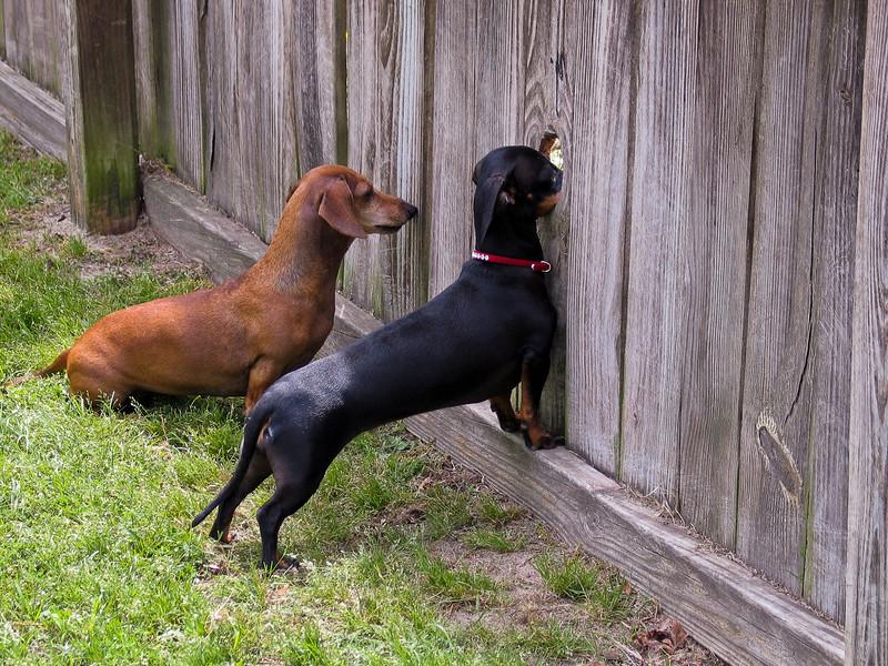 Lucy & Twinkle spying on the neighbors.