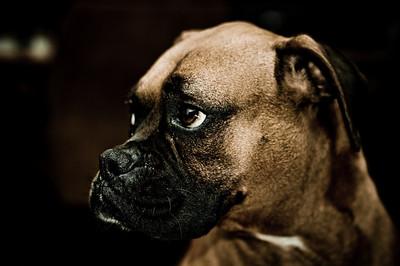 Mojo, my boxer, acting cool ...