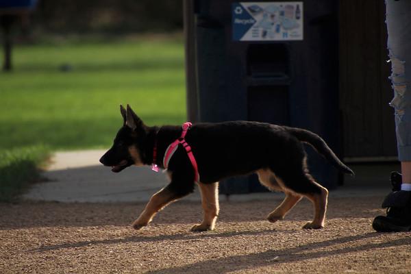 12 week old shephard-rogers dog park