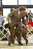 Gunner-Semper Fi's Locked And Loaded showing with handler Ricky Justice in the Open Brindle Class.