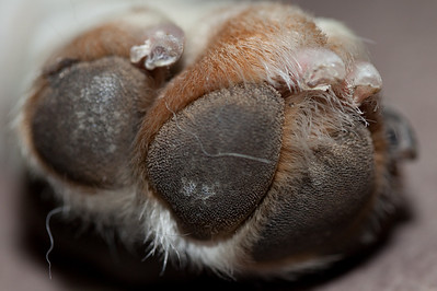 Roxy's Paw with a 100mm Macro