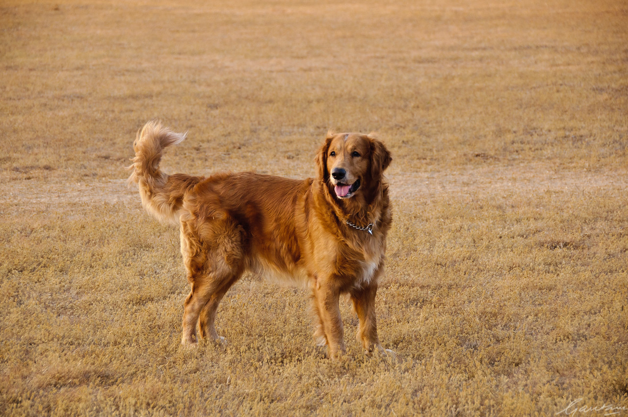 Les chiens in Mahabaleshwar<br /> Tycho learns golf