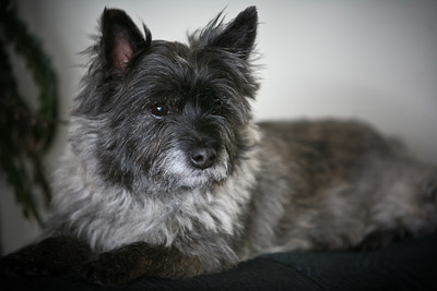 Tonic   Cairn Terrier