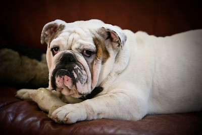 Bulldog  Max 08