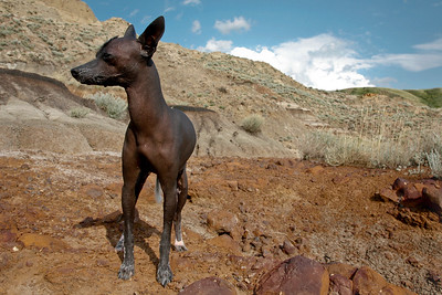 Pepper, Xoloitzcuintle, Mexican Hairless, Dog