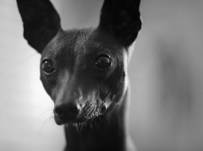 Xolo Dog Cheerio