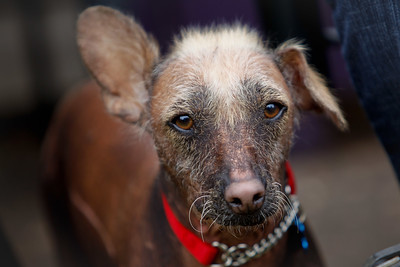 Enrique our floppy eared Xolo.