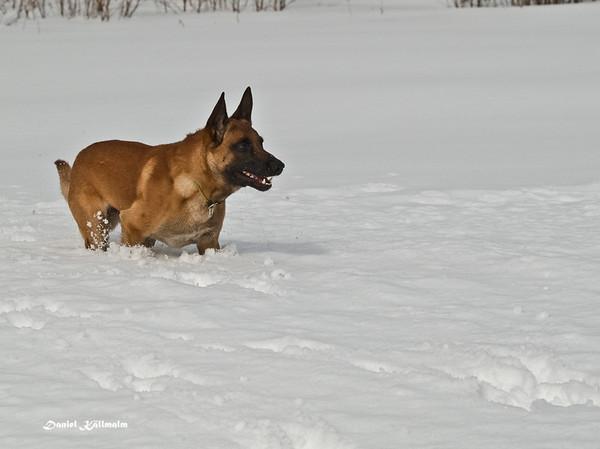 Napoleon in deep snow