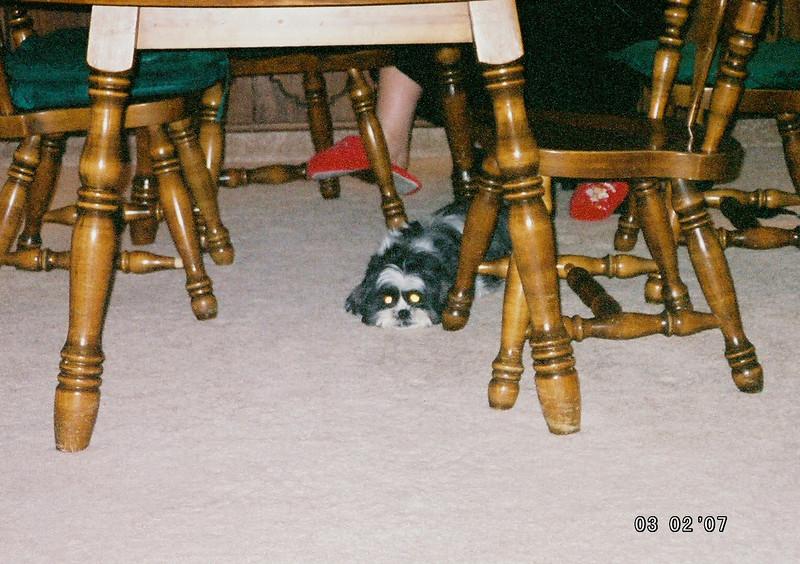 Molly hiding under Hill's dining room table.  Hopefully Gozer and Loki won't notice.