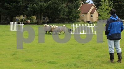 Training border collie to herd sheep, Olympia, WA.