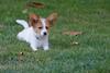 Fleur as a puppy - all ears!
