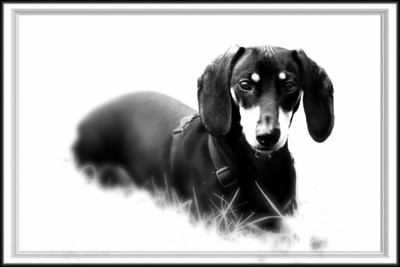 Published in Doxie Digest  Winter 2010 Isuue