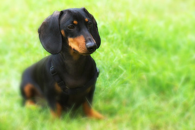 This image was printed in the 2009 Spring issue of Doxie Digest.