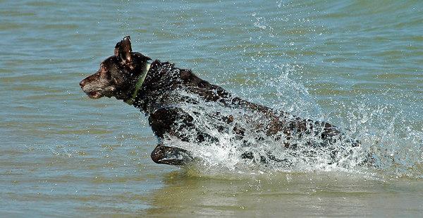 Kates pursues stick in Lake Michigan