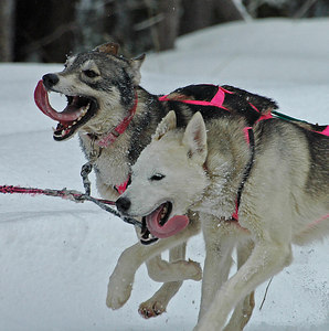 Sled dogs at Drummond Island race
