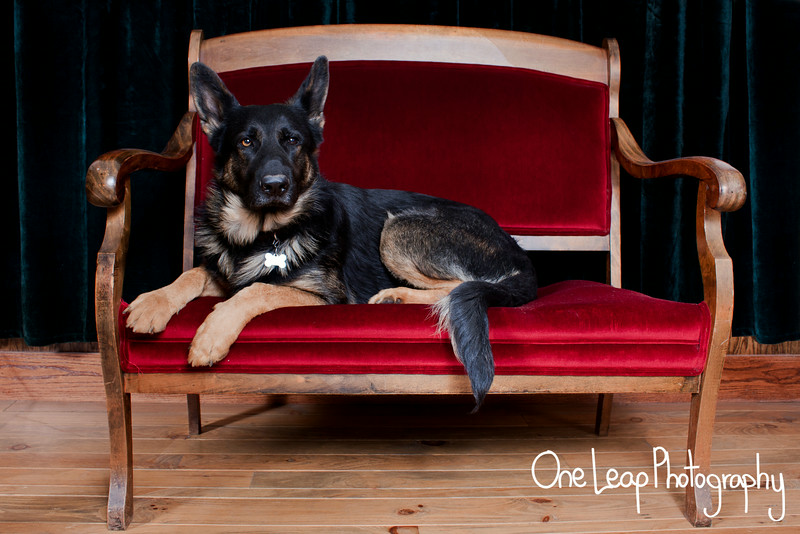 Lee the German Shepherd on a red chair