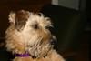 Maude as a puppy