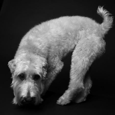 """Style: """"Photography by Amanda Jones"""" - this photo was taken by professional dog photographer Amanda Jones.  Please do NOT order prints of any photos thus labeled, since that would be like """"stealing"""" from her."""