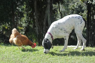 Bird dog Kira (CH. Zeehanna Moonshine Magic) in 2011 sharing food with a chook! Sire: CH. Zelgren Commanche Chief (AI) (Arrow) Dam: Breilla Shenannigens (Shania) - from her first litter (Dec 2002).