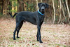 More About Ballard new pics.Ballard (#0480) is a very handsome 3 year old Great Dane. He is up to date on shots, HW negative and housebroken. Also dog friendly and good with kids. He is a sweet boy and wants to be inside with his people. A fence check is required prior to adoption. <br /> <br /> For information on adoption please call the Douglas County Animal Shelter at 770-942-5961 or fax 770-942-5914. All adopted dogs of appropriate age will receive a microchip. The new owners are required to get their new dogs a rabies vaccination and to have them spayed/neutered at the appropriate age. Ballard new pics is up-to-date with routine shots and house trained
