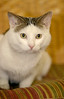 More About Kingston UPDATE.UPDATE: Kingston (6863) has a $50.00 vet certificate to help with his neutering and rabies at the time of adoption. He really is a fabulous boy and deserves a wonderful home. <br /> <br /> Kingston is an 18 month old Tabby with a pretty white and gray coat. He really likes attention and affection...will lay on your shoulder and gently rub his head against you. He truly is a wonderful boy with a sweet personality. <br /> <br /> For information on adoption please call the Douglas County Animal Shelter at 770-942-5961. The new owner is required to get their new pet a rabies vaccination and to have them spayed/neutered at the appropriate age.