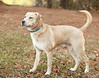 More About Ben 0418.Ben is a neutered 1-2 year old Lab mix. He is dog friendly and doing fine with roomie Daisey. He walks well on leash and knows basic commands like sit. Ben is an easy going guy with a gentle and playful spirit. He'll make a loving and loyal companion. <br /> <br /> For information on adoption please call the Douglas County Animal Shelter at 770-942-5961 or fax 770-942-5914. All adopted dogs of appropriate age will receive a microchip. The new owners are required to get their new dogs a rabies vaccination and to have them spayed/neutered at the appropriate age. Ben 0418 is spayed/neutered. <br /> .