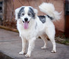 More About Jasper 0463.Jasper is such a striking boy...appears to be a year old Aussie mix. He loves to go for walks and to explore...and has such a gorgeous and soft coat. He also has a very bright and alert personality. Come soon for a walk and play session...Jasper will grab your heart quickly. <br /> <br /> For information on adoption please call the Douglas County Animal Shelter at 770-942-5961 or fax 770-942-5914. All adopted dogs of appropriate age will receive a microchip. The new owners are required to get their new dogs a rabies vaccination and to have them spayed/neutered at the appropriate age. .