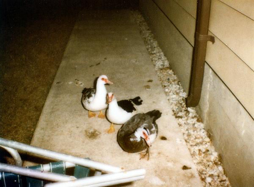 Three Muscovy ducks on the sidewalk (ducks)