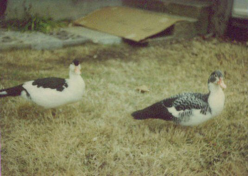 Two juvenile Muscovy ducks (ducks02)
