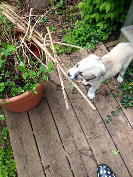 puppies are super-helpful with the gardening...