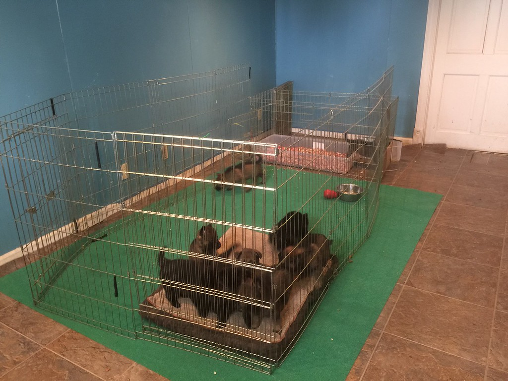 E-litter puppies out of the whelping box and in their new digs!<br /> 2/24/15