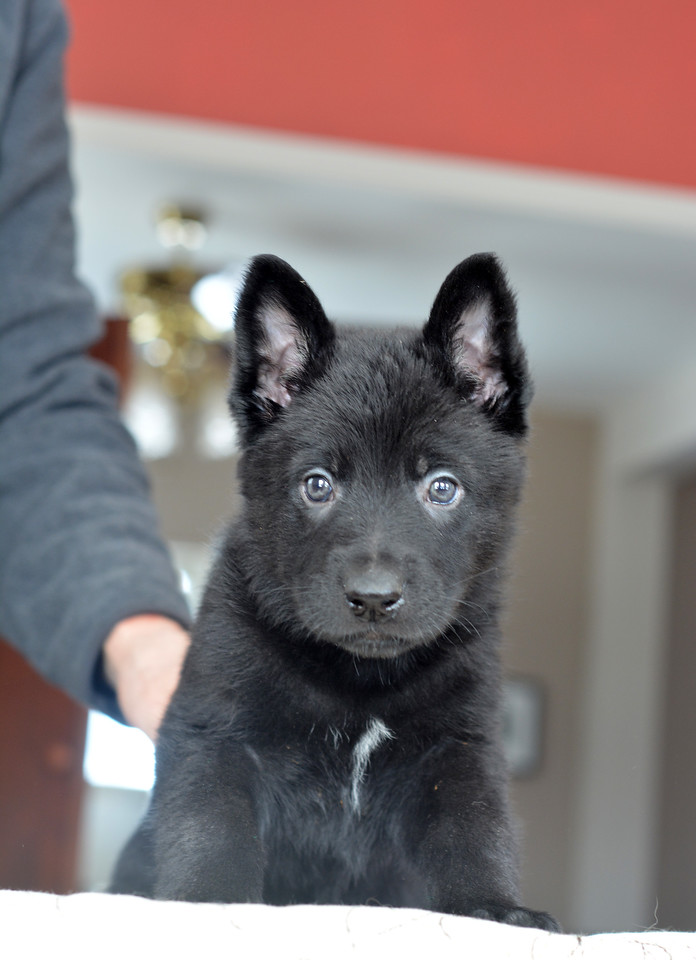 Solid black male, 6wks (green collar)<br /> 3.4.15