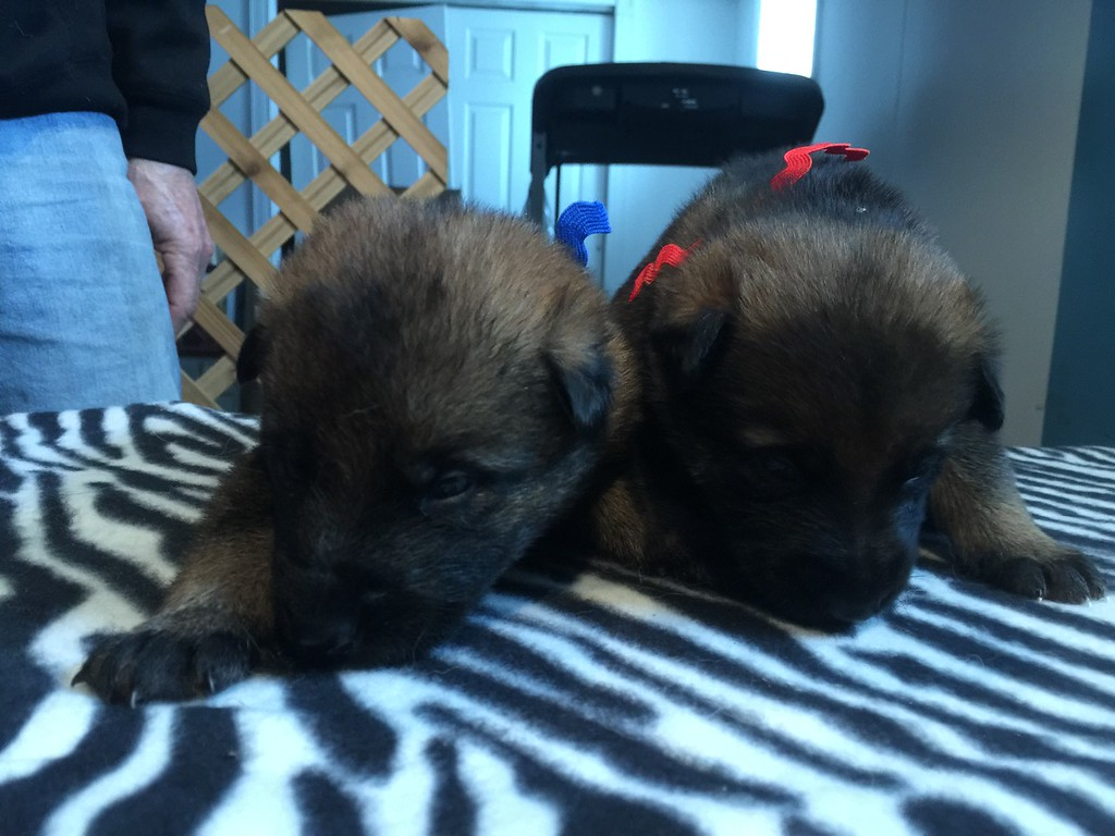 Dark blue collar male and red collar female