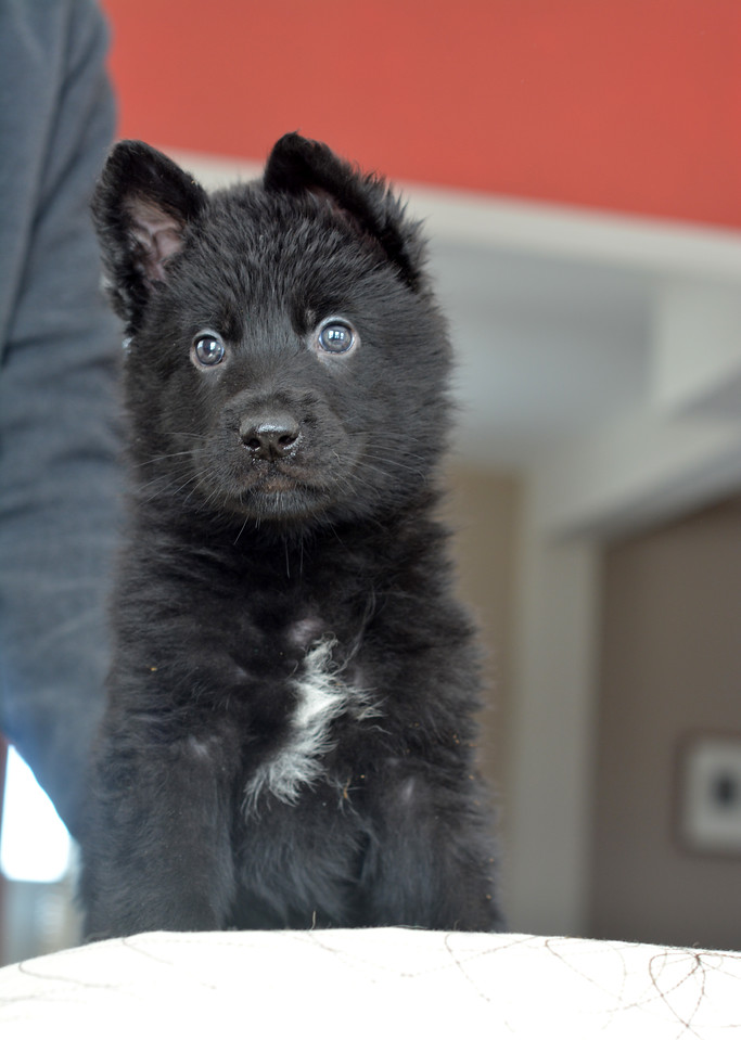 Solid black male, 6wks old<br /> 3.4.15