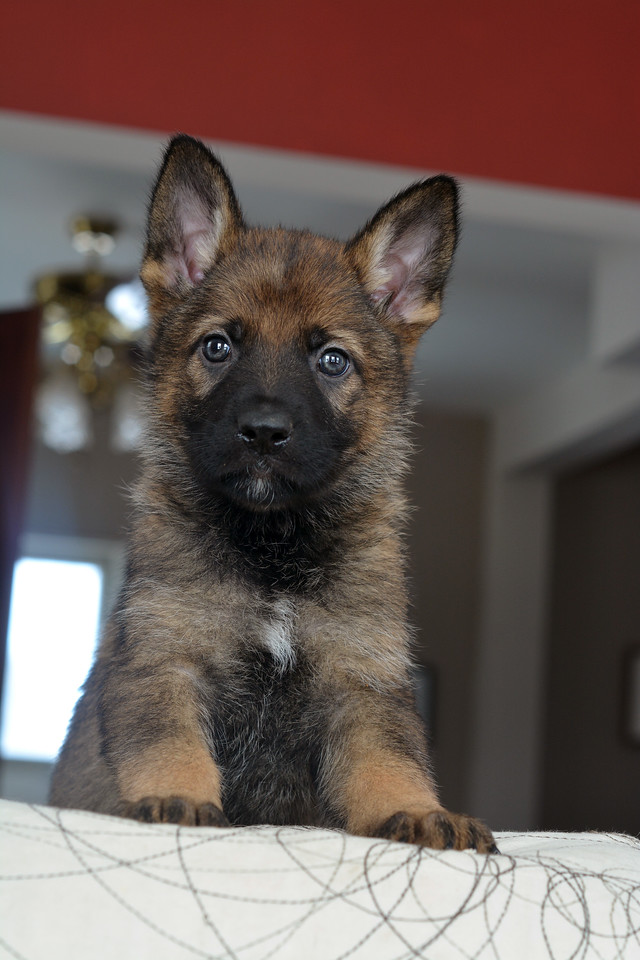 Dark blue collar boy, 6wks<br /> 3.4.15