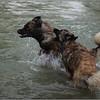 Ils ont pas osé nager !!! juste sauter.