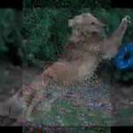 Emmett the Frisbee Dog