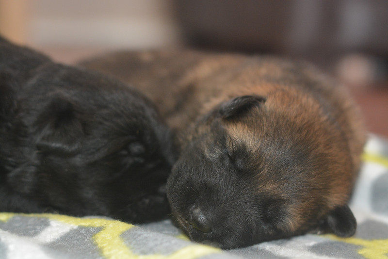 Solid black female and dark sable male<br /> 1.5 weeks old