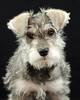 Schuazer Pup