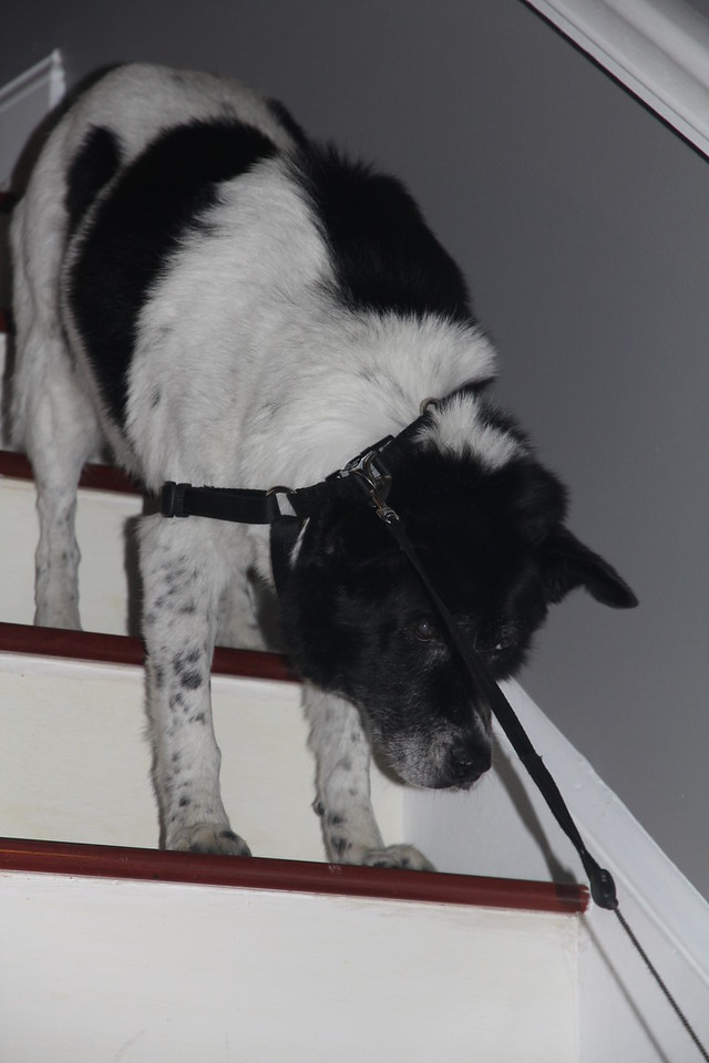 Bessie does not want to join the evil twins for a walk (she is scared of Edward & Sonya's dogs)