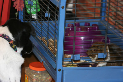 Bessie checking out the Chapman's gerbils