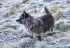 Benji in the Frost at Langbank - 6 December 2020