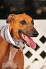 Retirement Day - 3 Sept 2011 : Photos of 17 newly-retired greyhounds brought in by Fastfriends Greyhound Adoption.