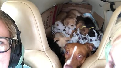 Before take-off, the pups settle in. Some want to be held. They manage to get into the backseat. The flight crew does not mind. :)